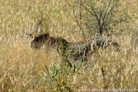 2016.4_leopard-17