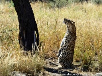 2016.4_leopard-18