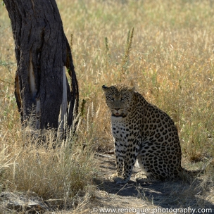 2016.4_leopard-19