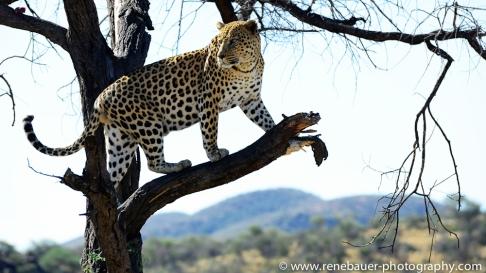 2016.4_leopard-21