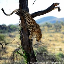 2016.4_leopard-22