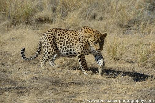 2016.4_leopard-23