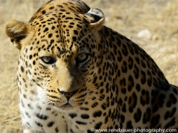 2016.4_leopard-25