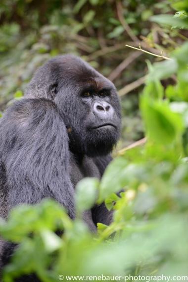 2017-02_rw_gorillas-27