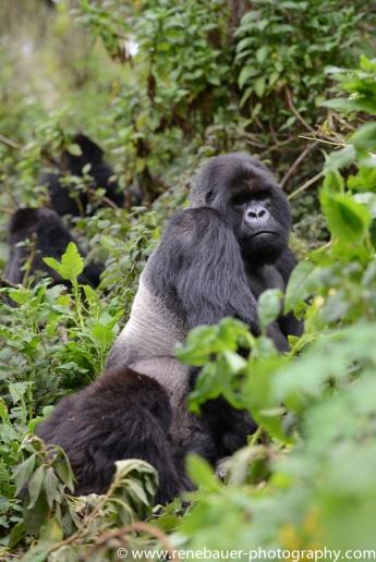 2017-02_rw_gorillas-28