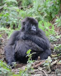2017-02_rw_gorillas-29