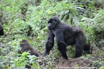 2017-02_rw_gorillas-30