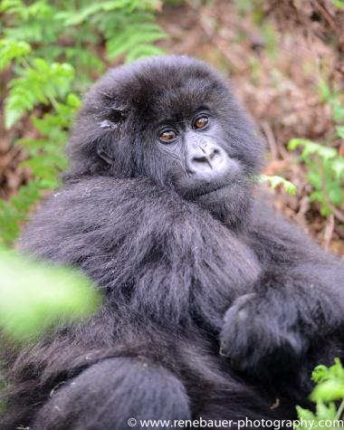 2017-02_rw_gorillas-31