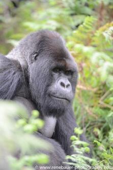 2017-02_rw_gorillas-32