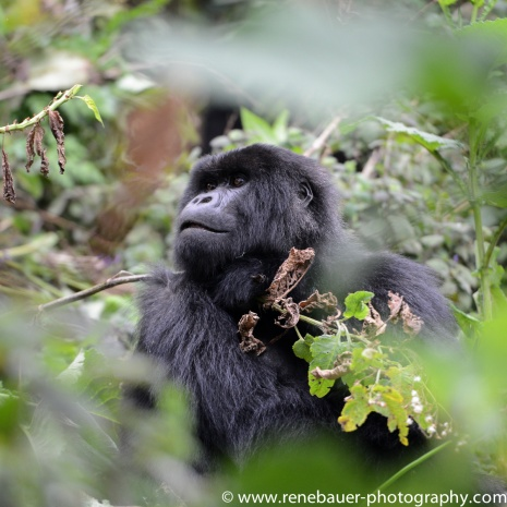 2017-02_rw_gorillas-33