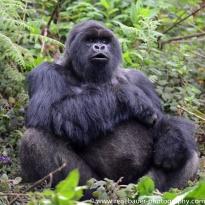 2017-02_rw_gorillas-34