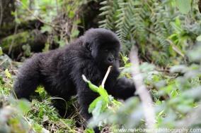 2017-02_rw_gorillas-36