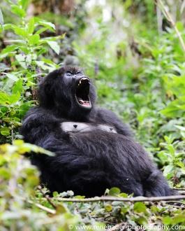 2017-02_rw_gorillas-37