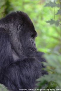 2017-02_rw_gorillas-38