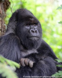 2017-02_rw_gorillas-39