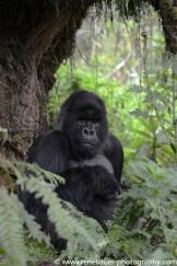 2017-02_rw_gorillas-40