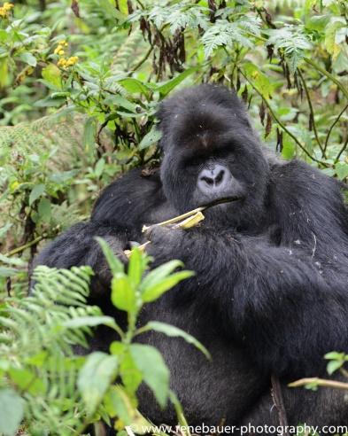 2017-02_rw_gorillas-41
