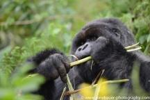 2017-02_rw_gorillas-42