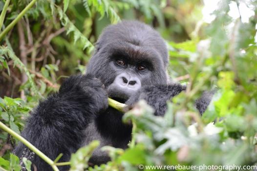 2017-02_rw_gorillas-43