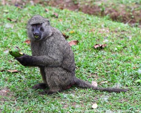 2017-02_ug_chimpanzee-12