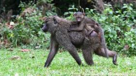 2017-02_ug_chimpanzee-13