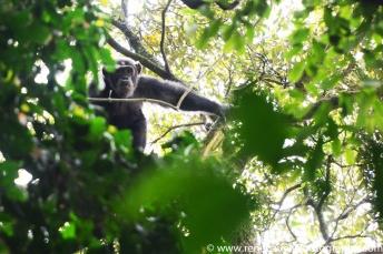 2017-02_ug_chimpanzee-28